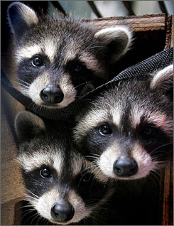 6 ways to keep raccoons of your sod