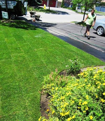 Watering a fertilized lawn
